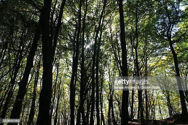 Beech forest in Uizi, Navarra