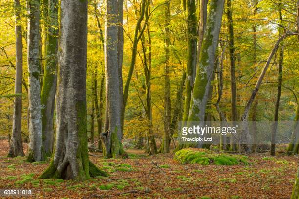 Beech Forest Interior in Autumn