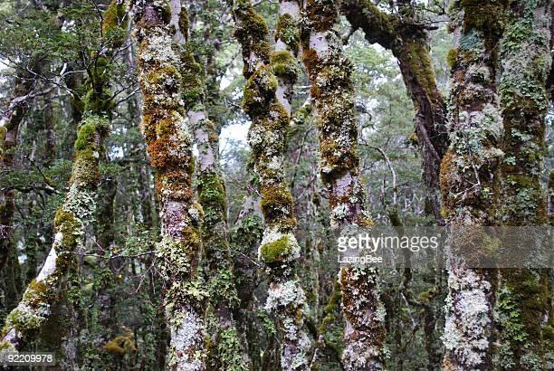 Beech Forest, Kahurangi National Park