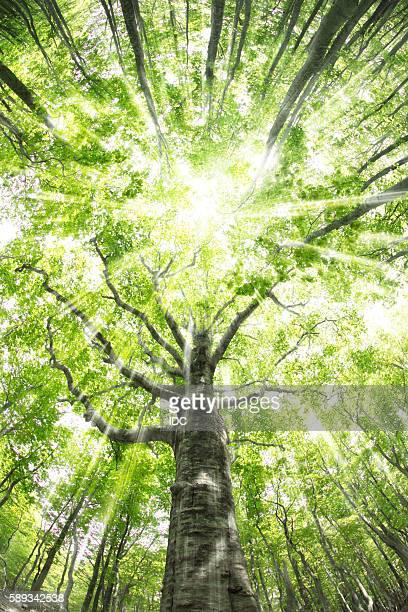 Beech forest, Mt Hakkoda, Aomori Prefecture, Japan