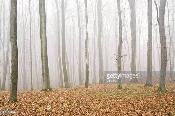 Beech forest.