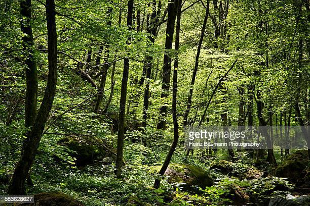 beech forest - heinz baumann photography stock-fotos und bilder