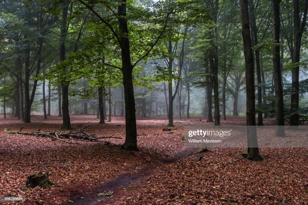 Beech Forest : Stockfoto