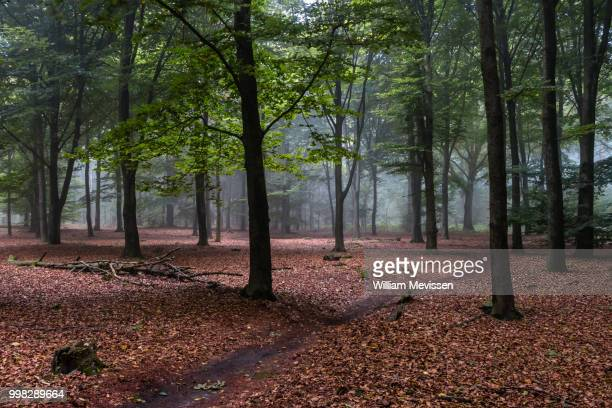 beech forest - william mevissen stock pictures, royalty-free photos & images
