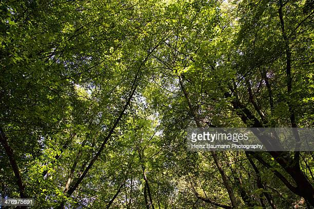 beech forest, sonvico, ticino, switzerland - heinz baumann photography stock-fotos und bilder