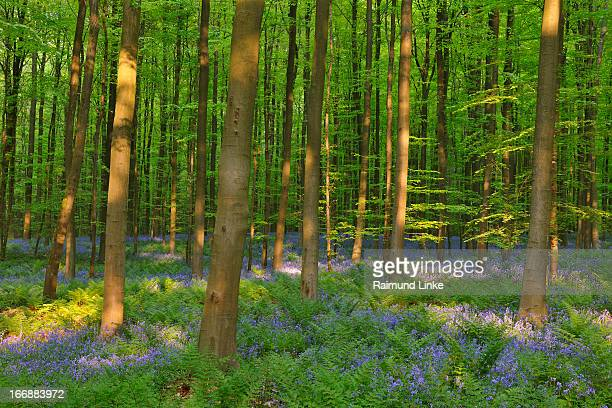 Beech Forest with Bluebells