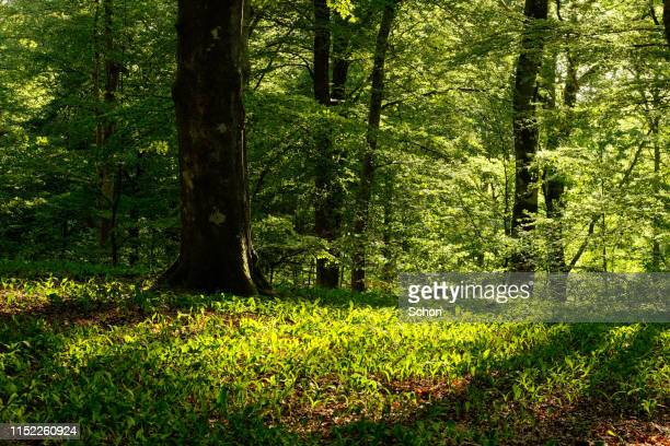 beech forest with lily of the valley on the ground in spring in clear light - beech tree stock pictures, royalty-free photos & images