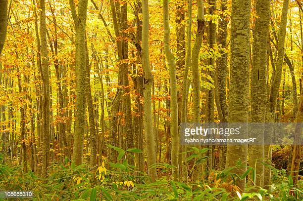 Beech Forest With Yellow Autumnal Leaves in Towada Hachimantai National Park. Towada, Aomori Prefecture, Japan
