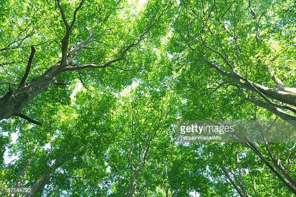 Beech forest, Yamagata Prefecture