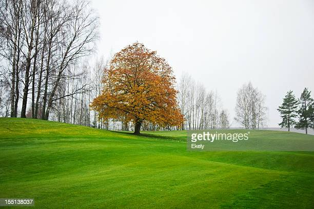 Beech  in white mist and green lawn.