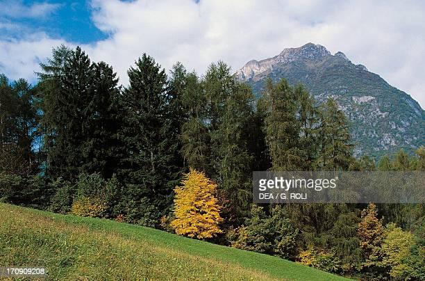 Beech larch and spruce forest on Mount Valandro AdamelloBrenta Nature Park TrentinoAlto Adige Italy