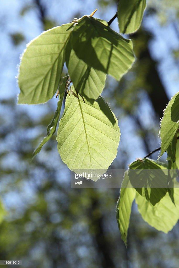 Beech leaf brightly backlit : Stock Photo