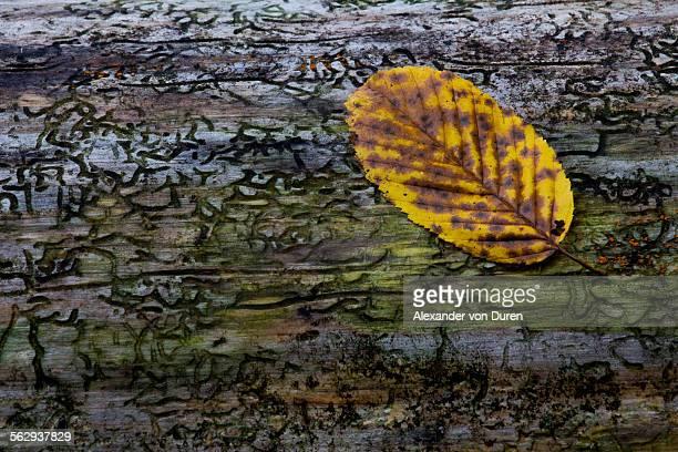 Beech leaf -Fagus sylvatica- on dead wood, Germany