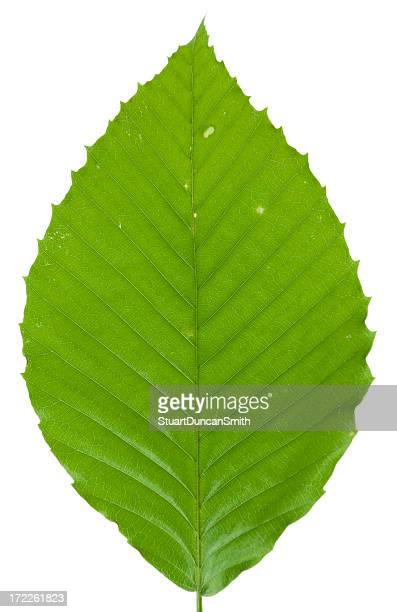 beech leaf isolated on white - beech tree stock pictures, royalty-free photos & images