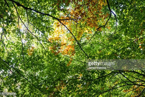 Beech leaf patterns