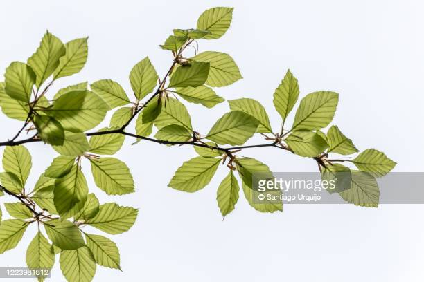 beech leaves against the sky - branch stock pictures, royalty-free photos & images