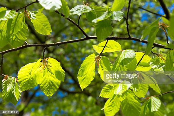 Beech leaves Fagus sylvatica on a tree in Bruern Wood in The Cotswolds Oxfordshire UK