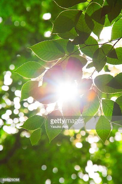 Beech leaves in beech forest