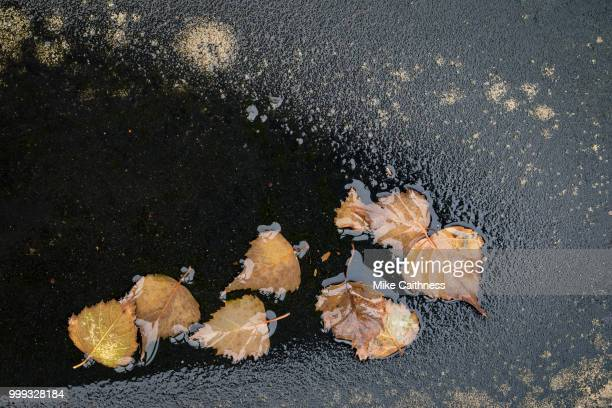 beech leaves study - mike caithness stock pictures, royalty-free photos & images