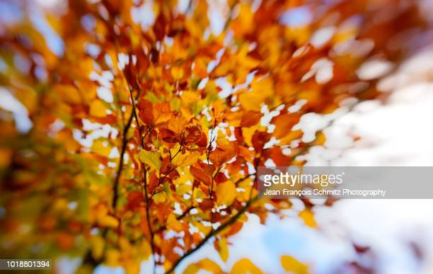 beech leaves turning red in autumn, october 2012 - united_states_senate_election_in_virginia,_2012 stock pictures, royalty-free photos & images