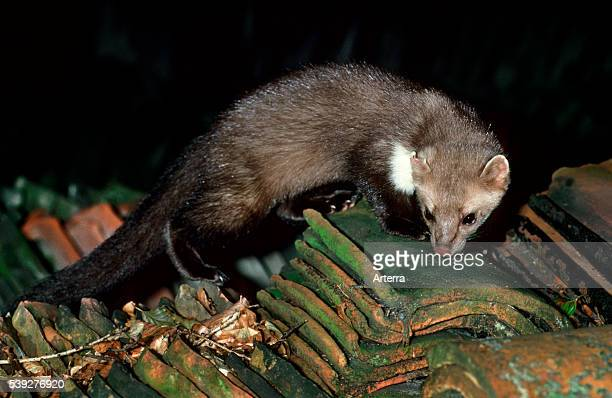 Beech marten hunting for prey at night among stacked roof tiles