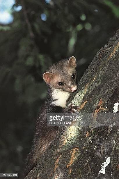 Beech Marten on tree