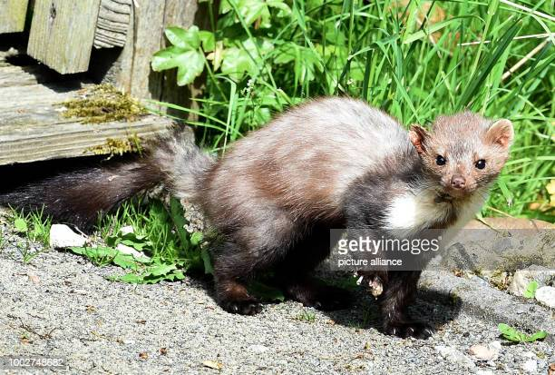 A beech marten runs under the shining sunlight and temperatures of 25 degrees Celsius next to a field in Leiferde Germany 17 May 2017 Photo Holger...