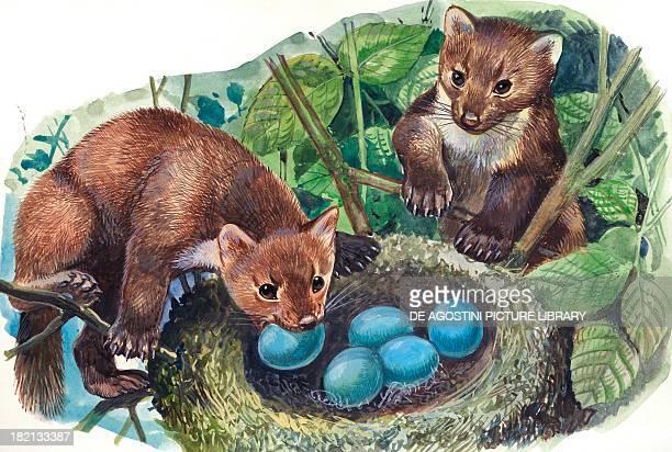 Beech Martens stealing eggs from a nest illustration