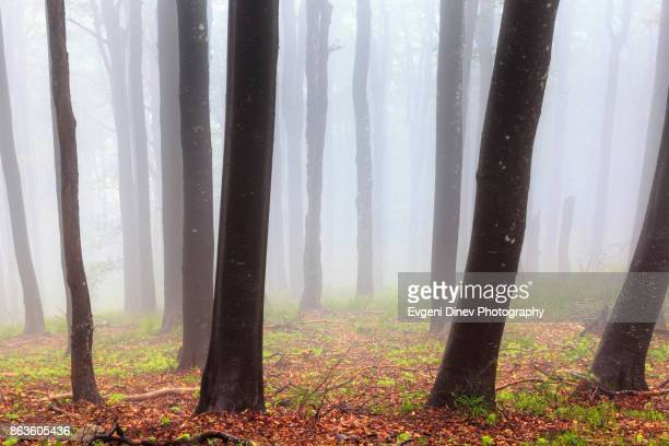 Balkan Mountains, Bulgaria - June 2010: Beech stems in the fog