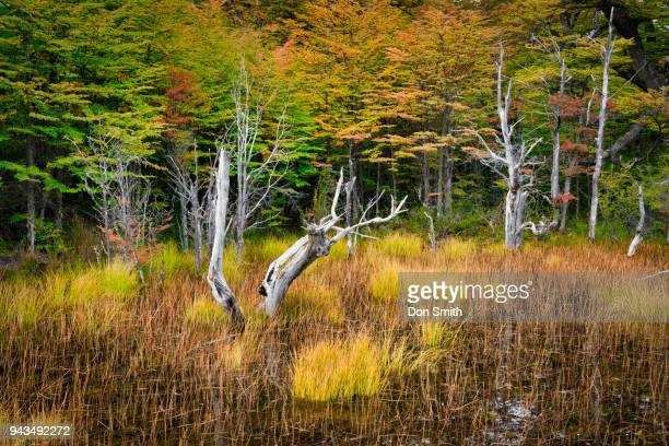 beech tree and fall color - don smith ストックフォトと画像