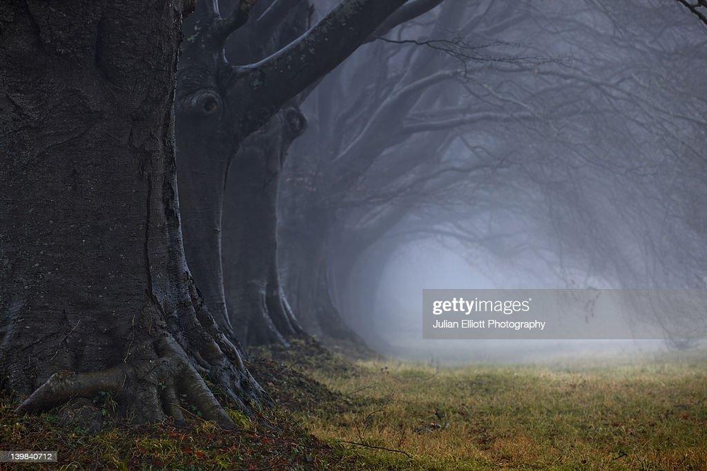 Beech tree avenue, Kingston Lacy, Dorset, England, UK. : Stock Photo