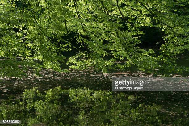 Beech tree branches falling on a lake