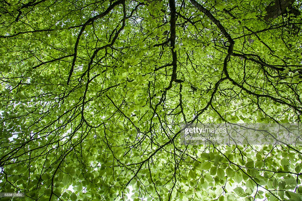 Beech tree canopy : Foto stock