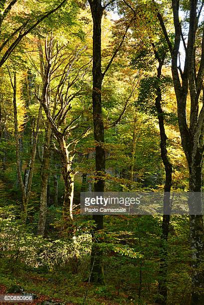 Beech tree forest in Soriano nel Cimino, Italy