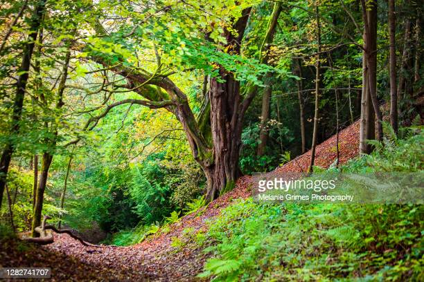 beech tree forest path - forest stock pictures, royalty-free photos & images