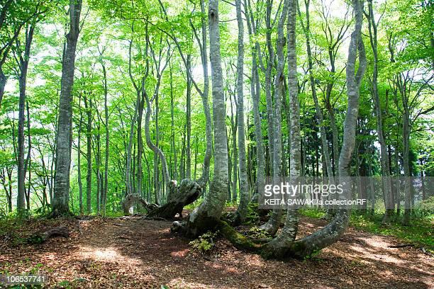 Beech Tree Forest