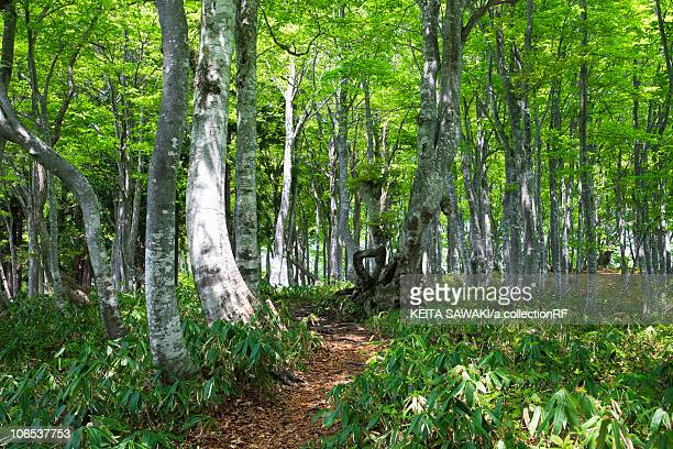 beech tree forest - hokuriku region stock photos and pictures