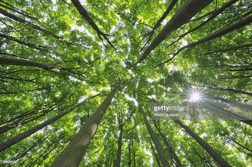 Beech tree forest view to the tree tops, sunbeams. : Foto de stock