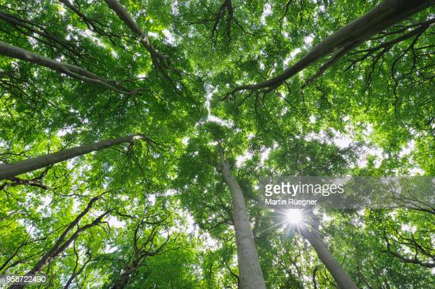 beech tree (fagus sylvatica) forest view to the tree tops with sun and sunbeams. mecklenburg vorpommern, mecklenburg-western pomerania, germany. - treetop stock pictures, royalty-free photos & images