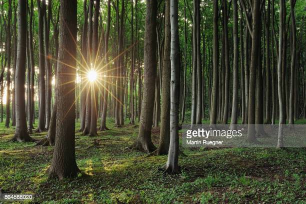 Beech tree (Fagus sylvatica) forest with sun and sunbeams at backlight, sunrise.