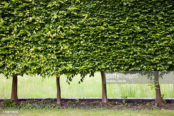 beech tree hedge - andrew dernie stock pictures, royalty-free photos & images