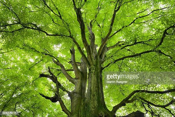 Beech Tree in forest