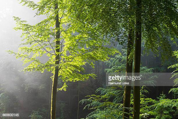 Beech tree in forest with haze in the morning