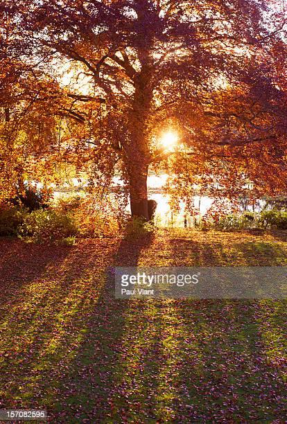 beech tree in full autumn colour