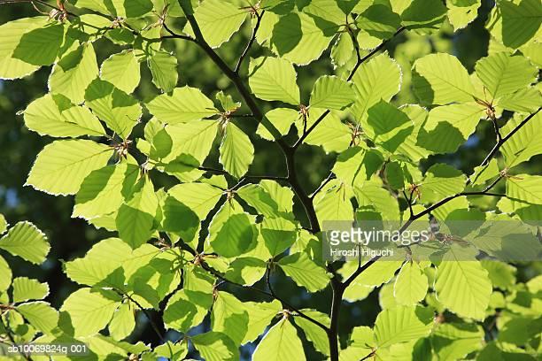 beech tree (carpinus betulus l.) leaves, close-up - laubbaum stock-fotos und bilder