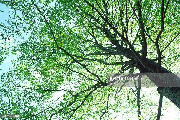 Buche tree