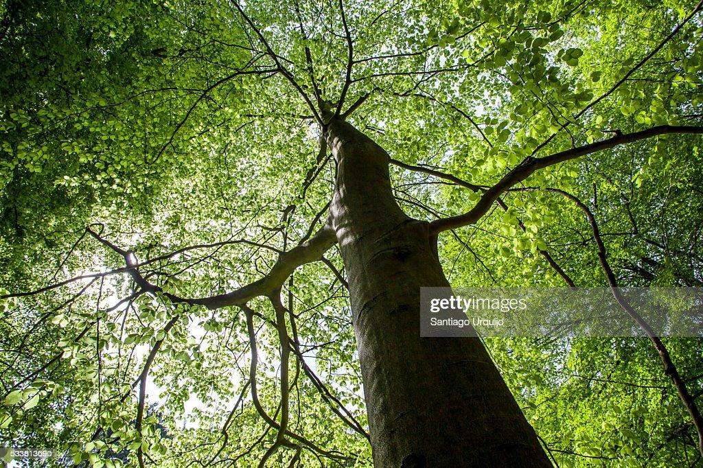 Beech tree : Foto stock