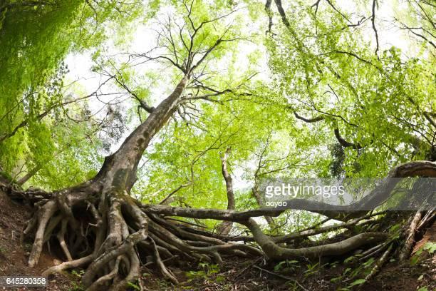 Haya raíces de los árboles en el bosque