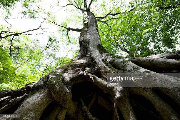 beech tree roots - origins stock pictures, royalty-free photos & images