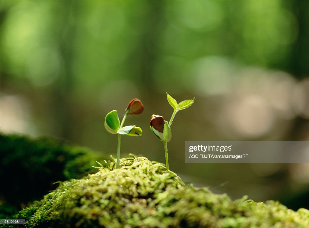 Beech tree saplings growing in moss, Hakkouda, Aomori Prefecture, Japan : Stock Photo